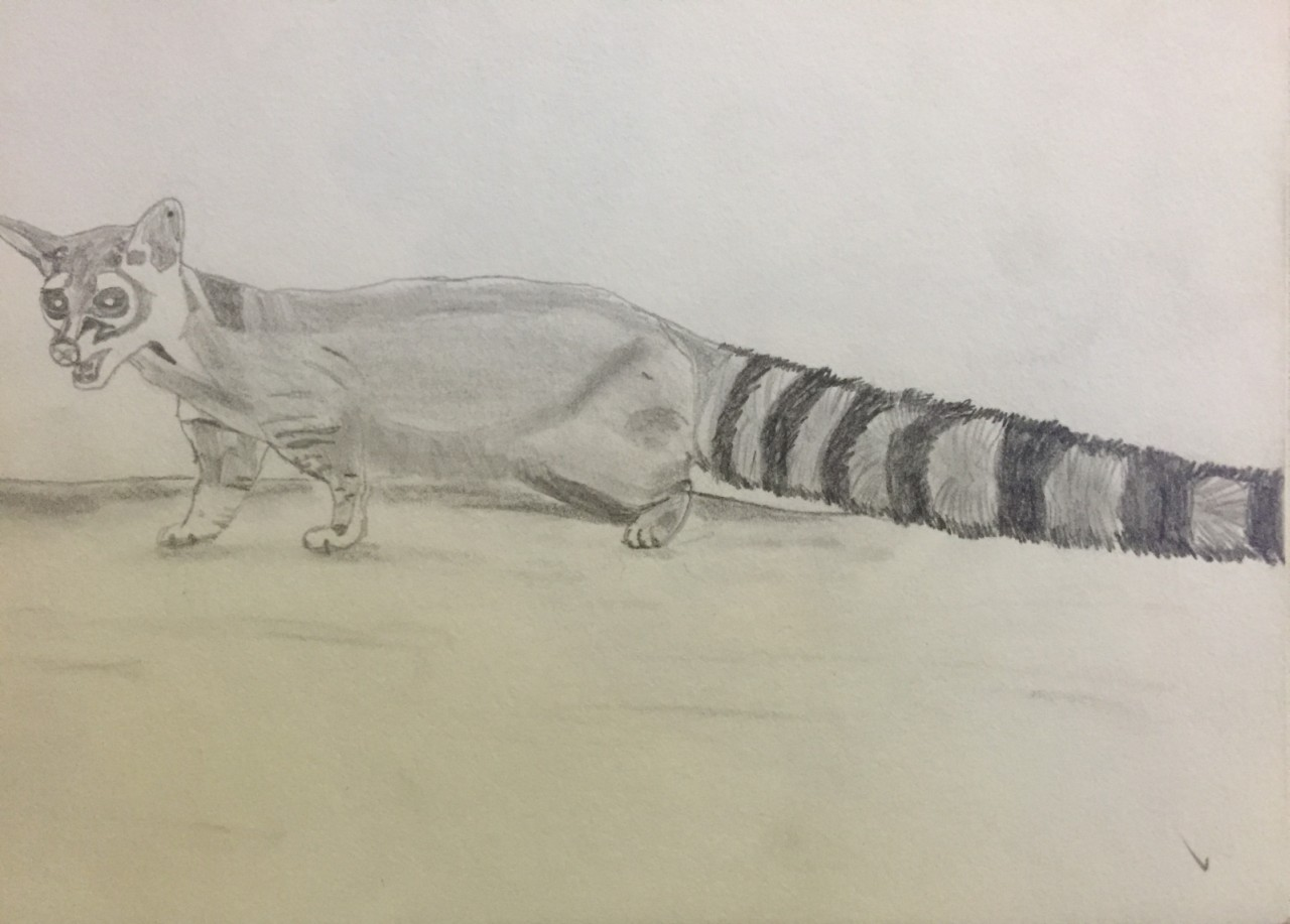 Ring-tailed cat, sketch done at age 15.