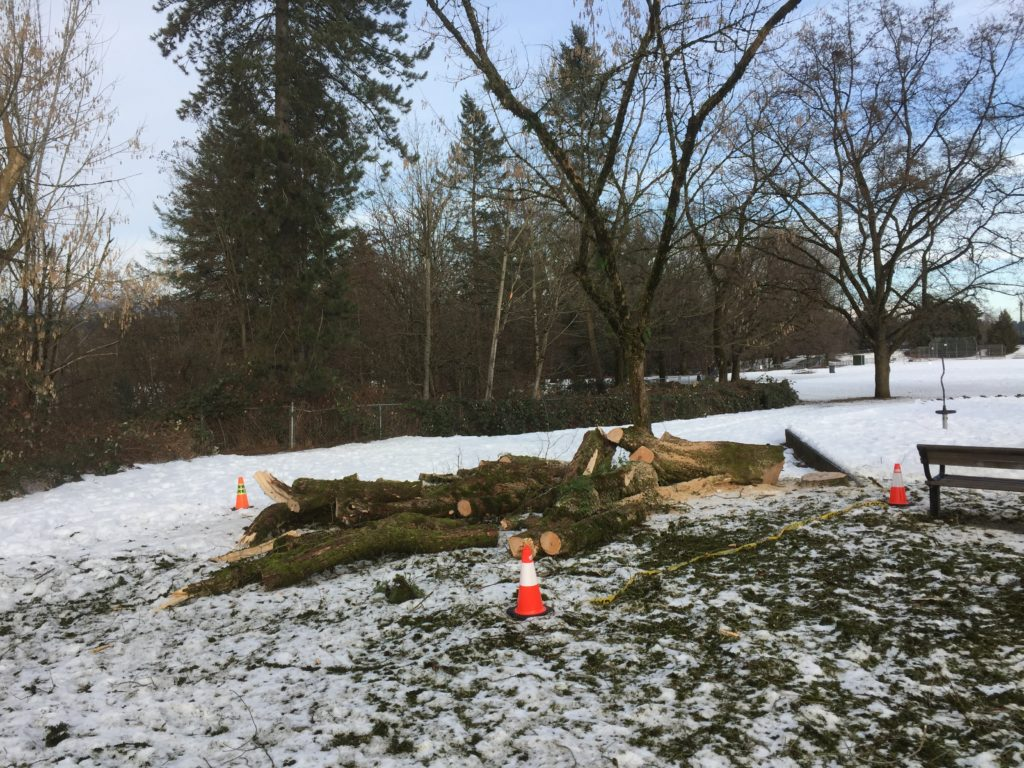 One less tree to pester people in Hume Park